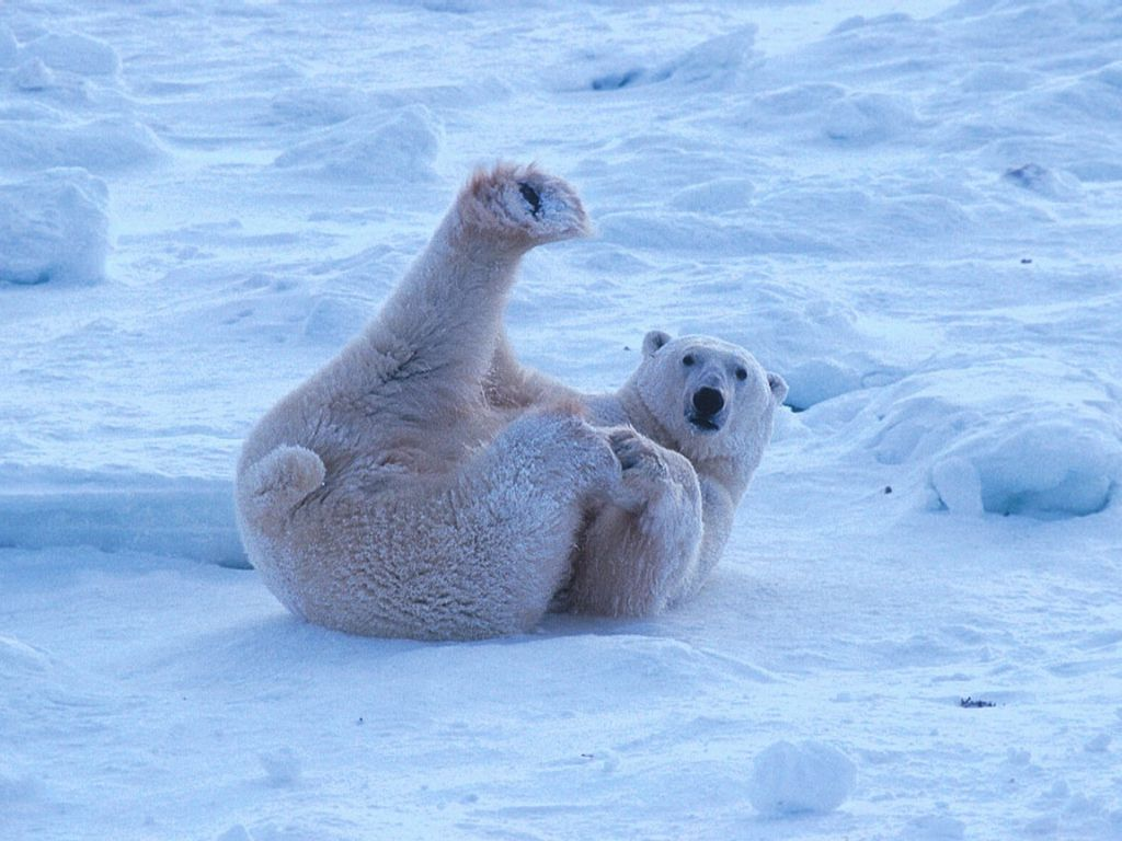 Polar Bears : Polar Bear Lounging.