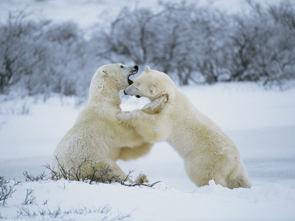 Polar Bears : Polar Bear Romp.