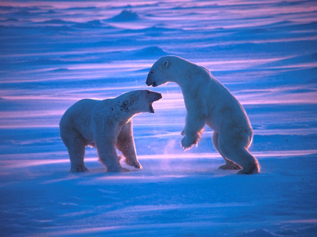 Polar Bears : Polar Bears Grappling at Dawn.