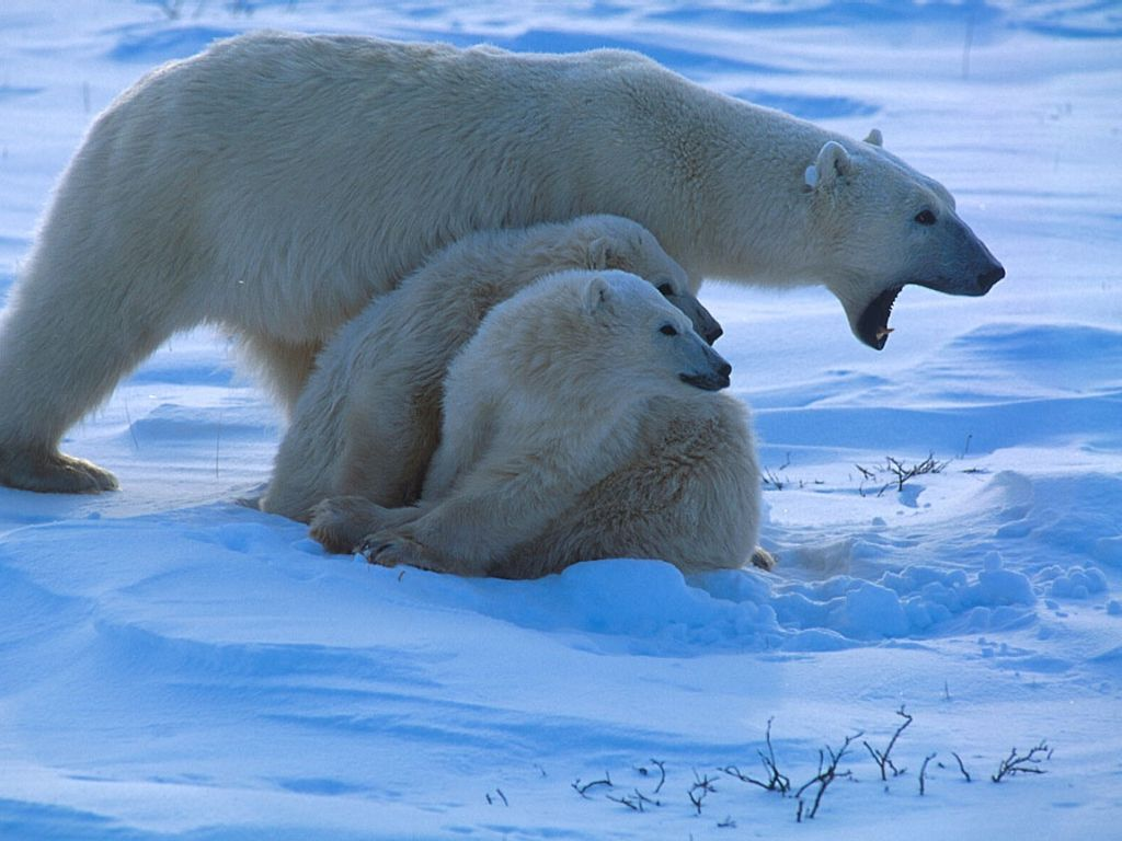 polar bear pictures protective mother