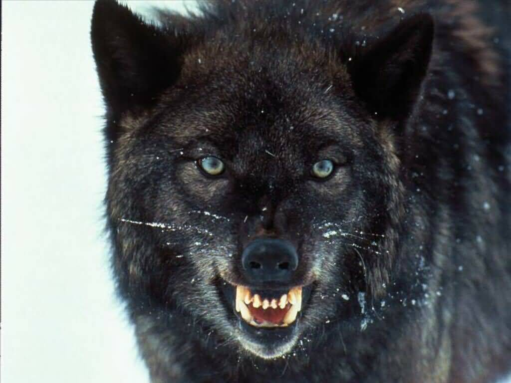 Wolf Pictures :: Snarling Wolf. (1