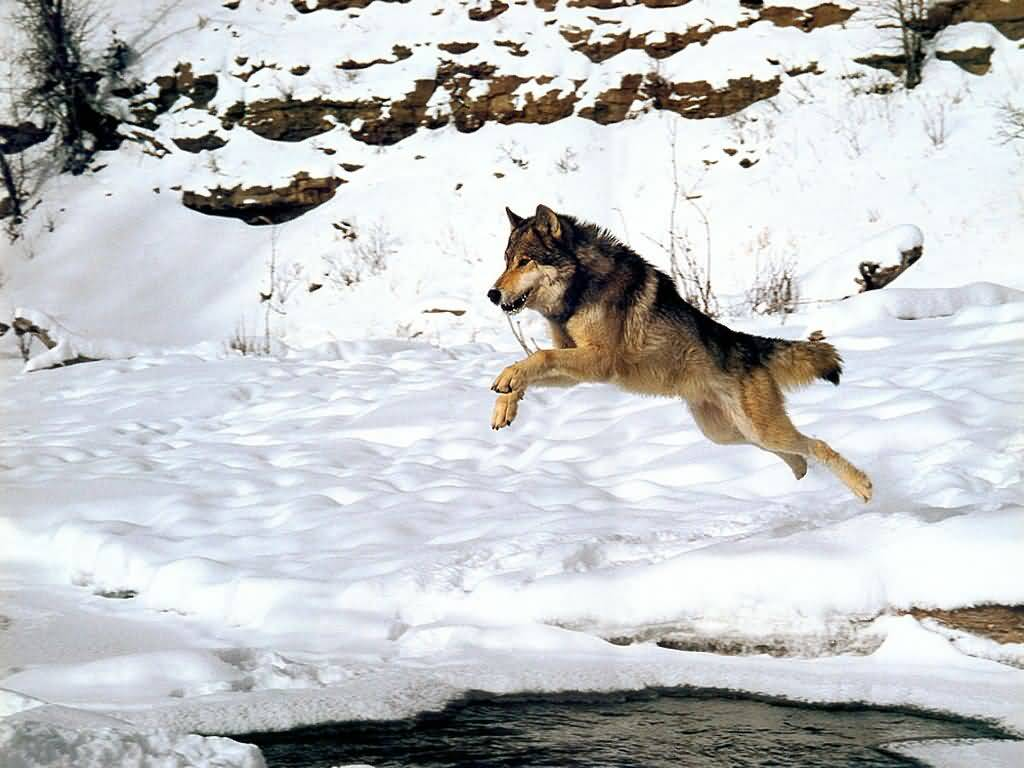 A Wolf Jumping in the Snow.