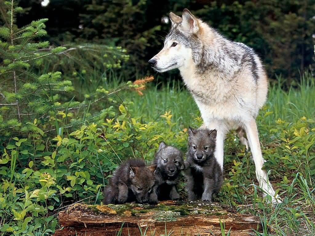 -Ranks- JLM-wolf_and_pups-%281024x768%29