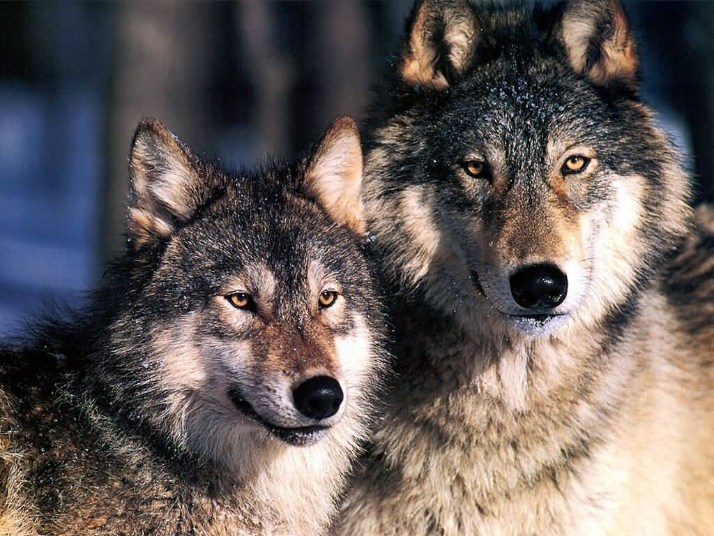 Wolf Pictures :: Two Wolves