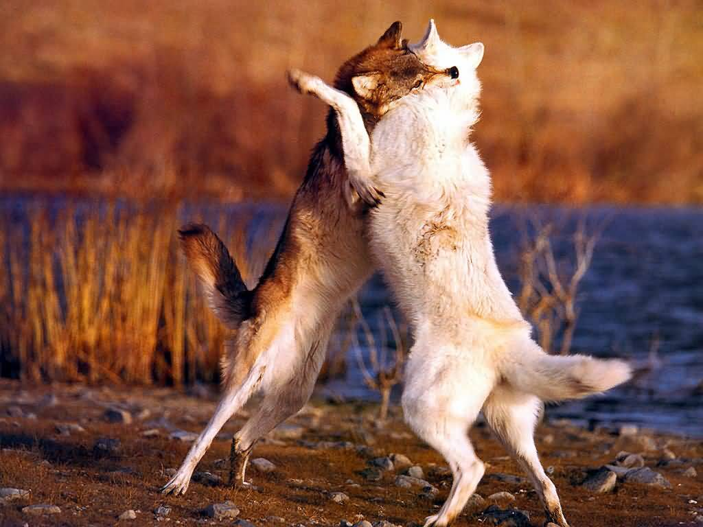 wolf pictures two wolves playing