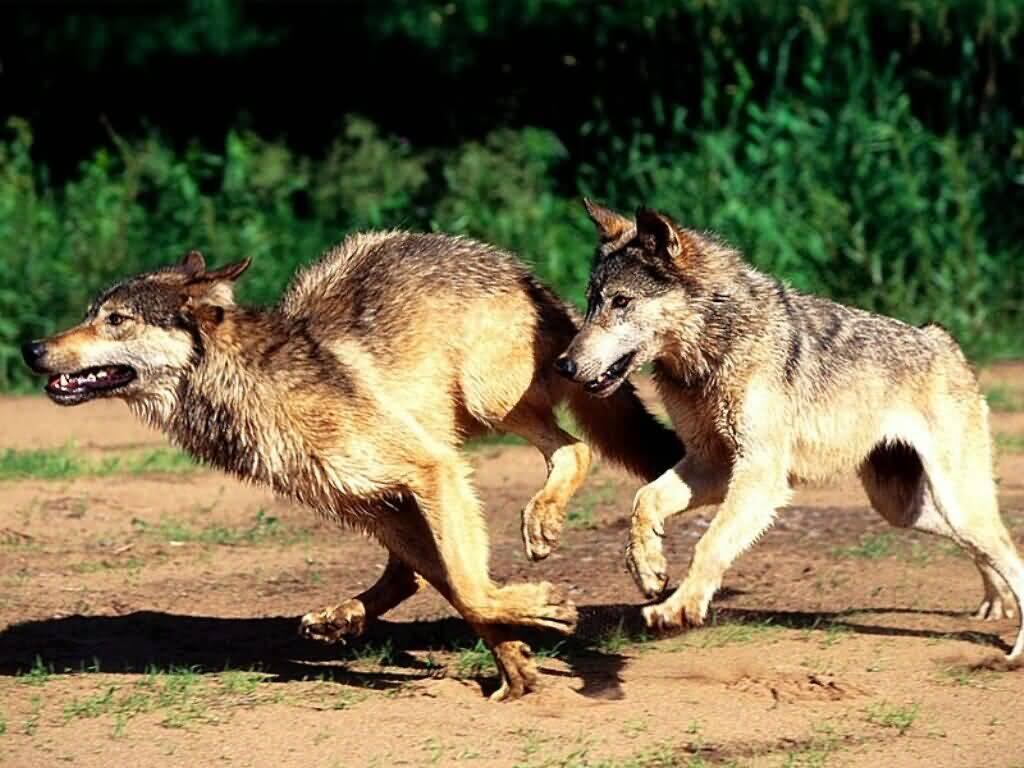 -Ranks- Morning_Jog_Wolves-%281024x768%29