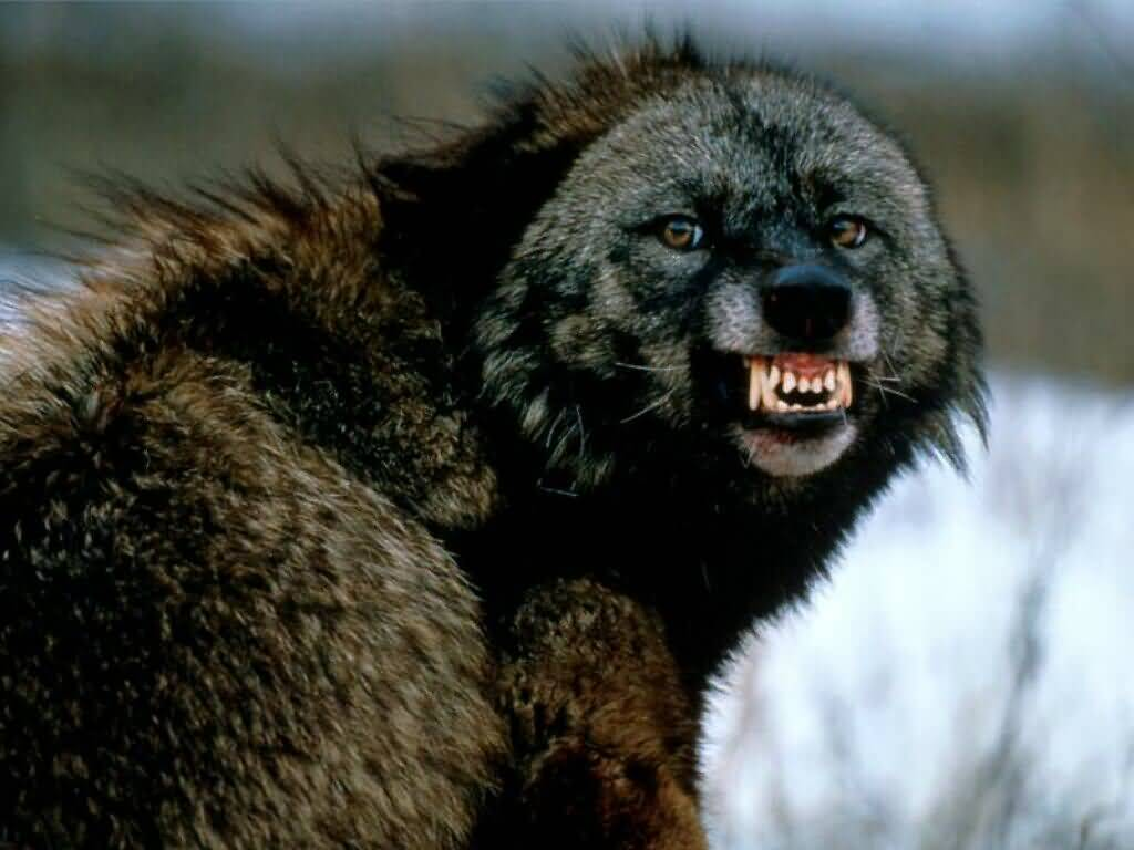 Snarling Wolf
