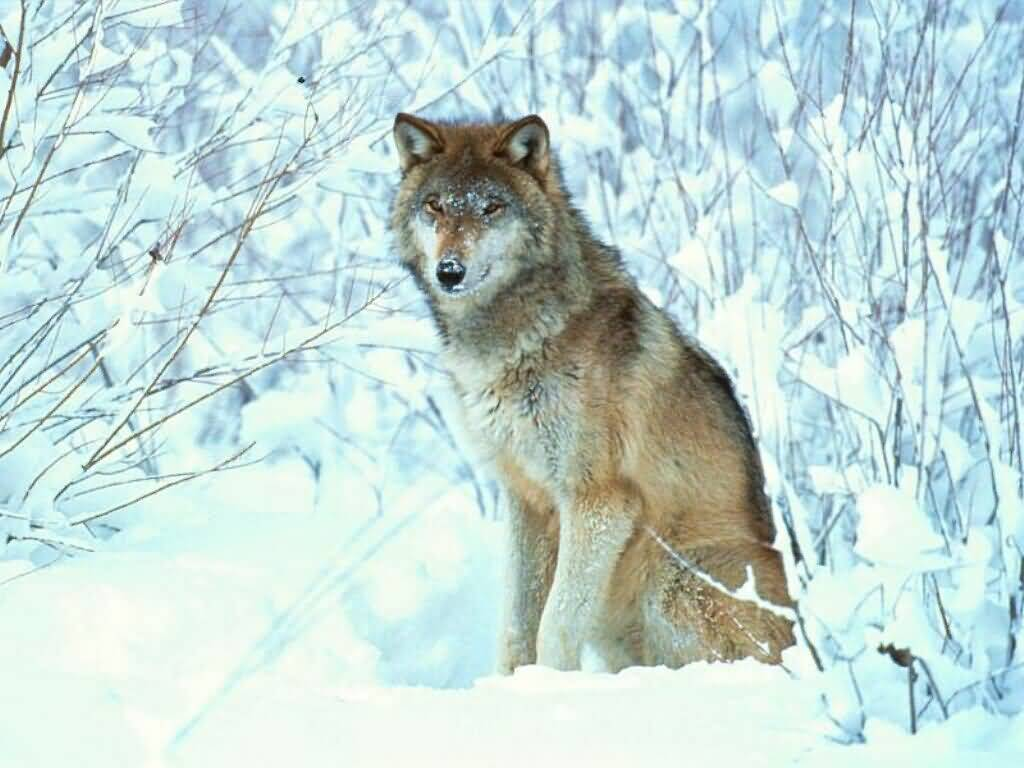 Wolf Waiting Patiently in Snow.