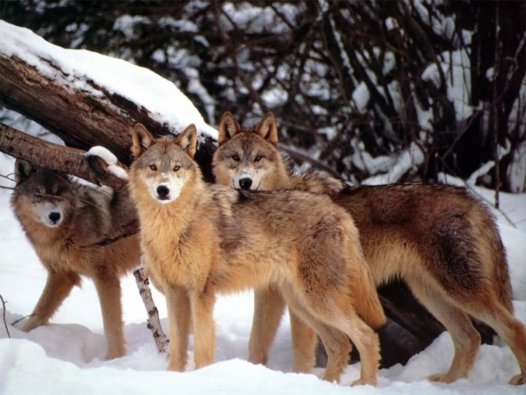 Wolf Pictures :: Three Wolves in Snow