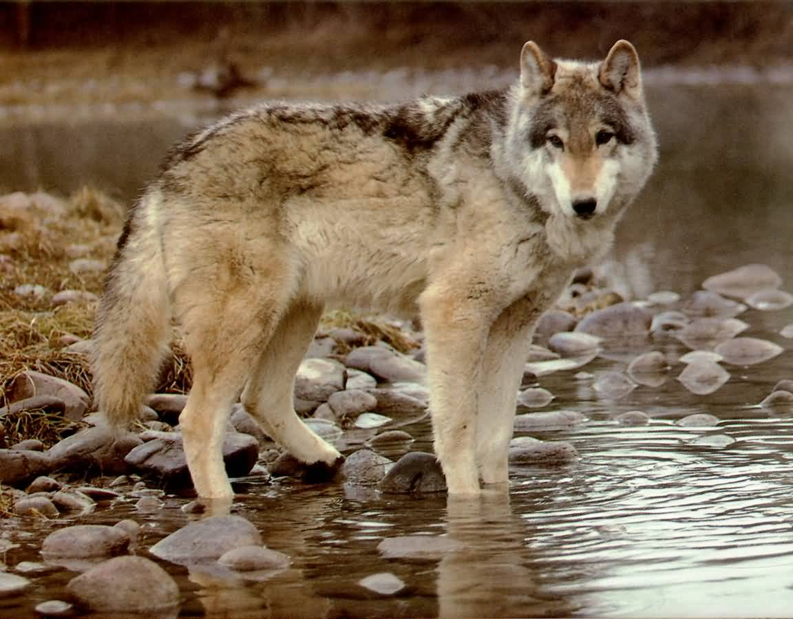 Wolf By A River.