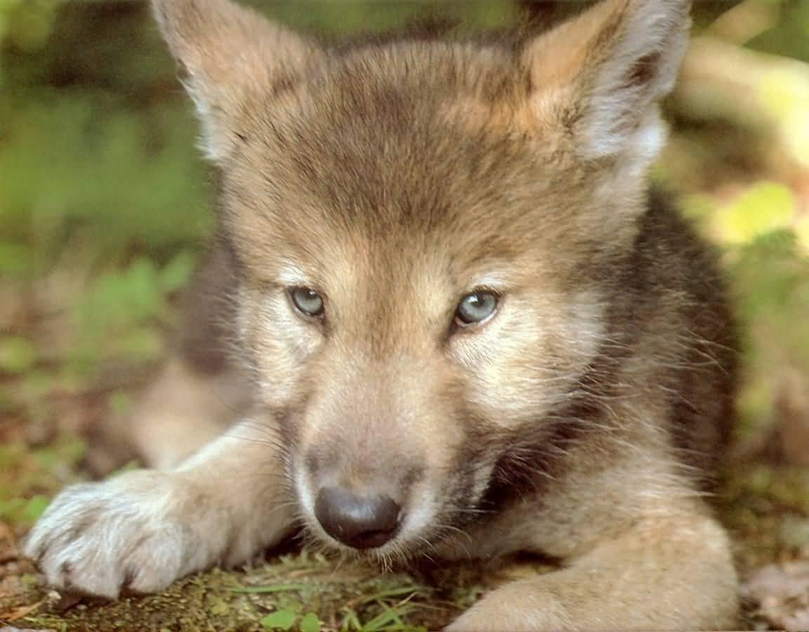 Manada: Guardianes del bosque - Página 40 Wolves-06-(1152x900)
