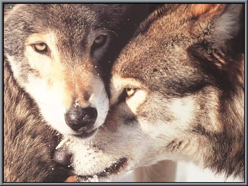 Two Wolves Close Up.