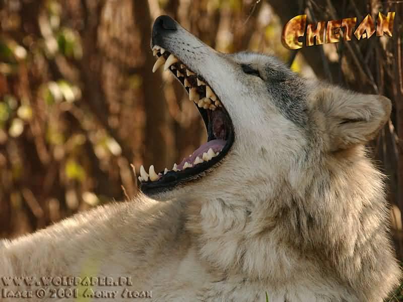 a yawning wolf chetan