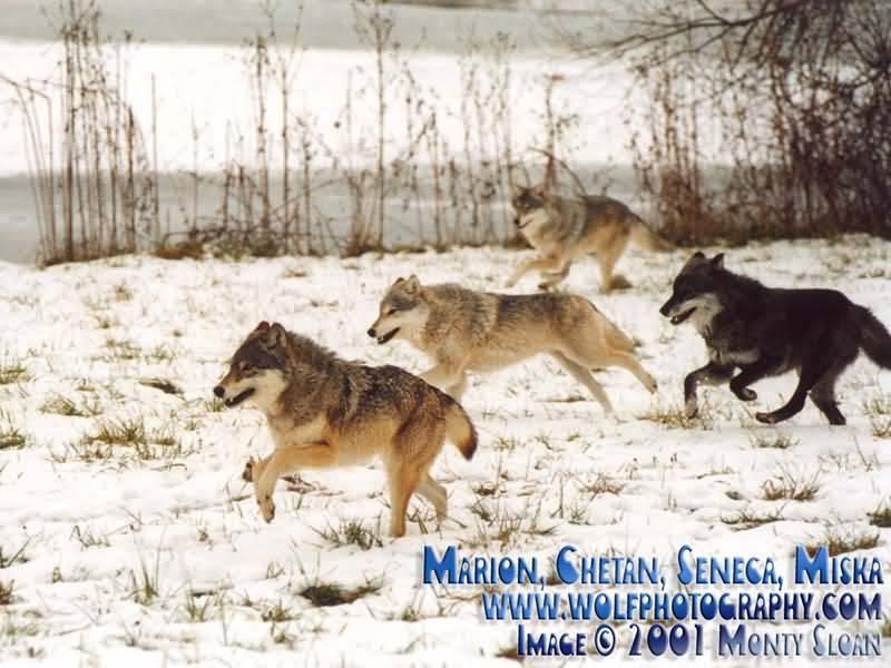 Pack of Wolves Running.