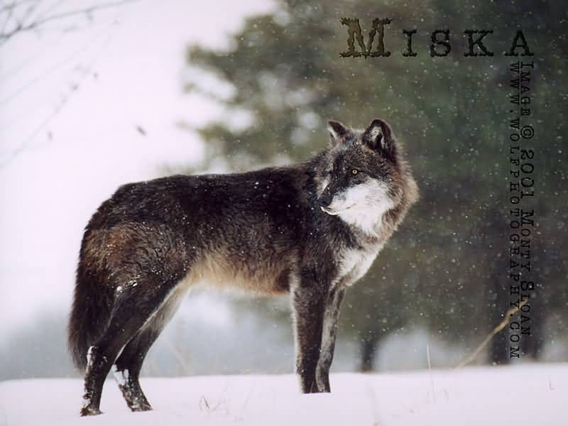 Pictures Of Wolves In The Snow. Wolf in Snow Storm.