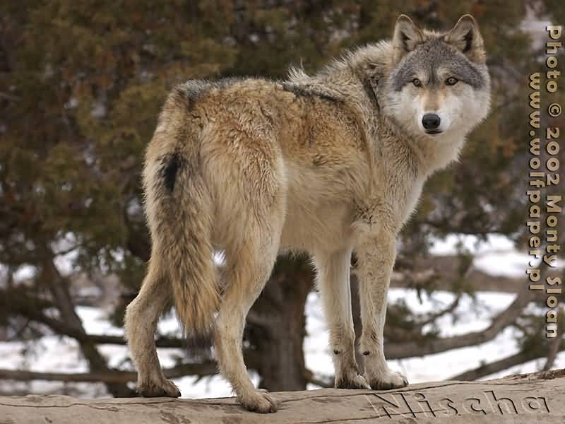 Wolf Pictures :: Wolf Looking Back (Nisca)