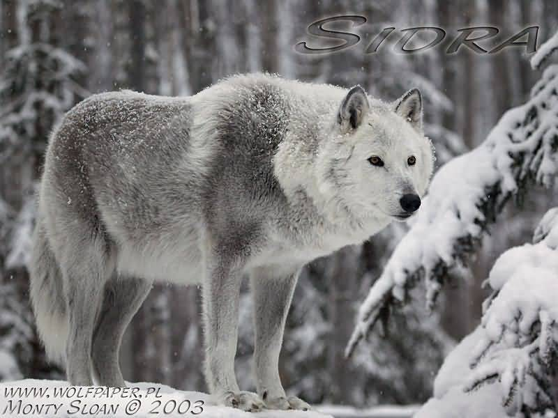 Nevada Wolf Pack Wallpaper: Wolf Pictures :: Winter Wolf