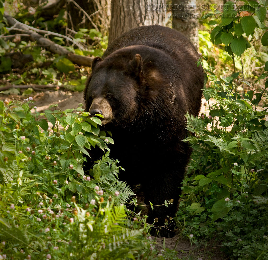 A Black Bear (Ursus americanus) walking on all-fours through the woods.