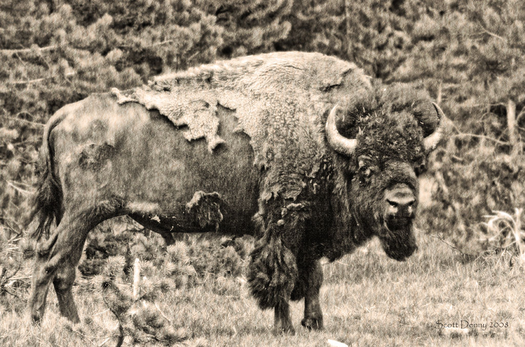 A side view of an American Bison.