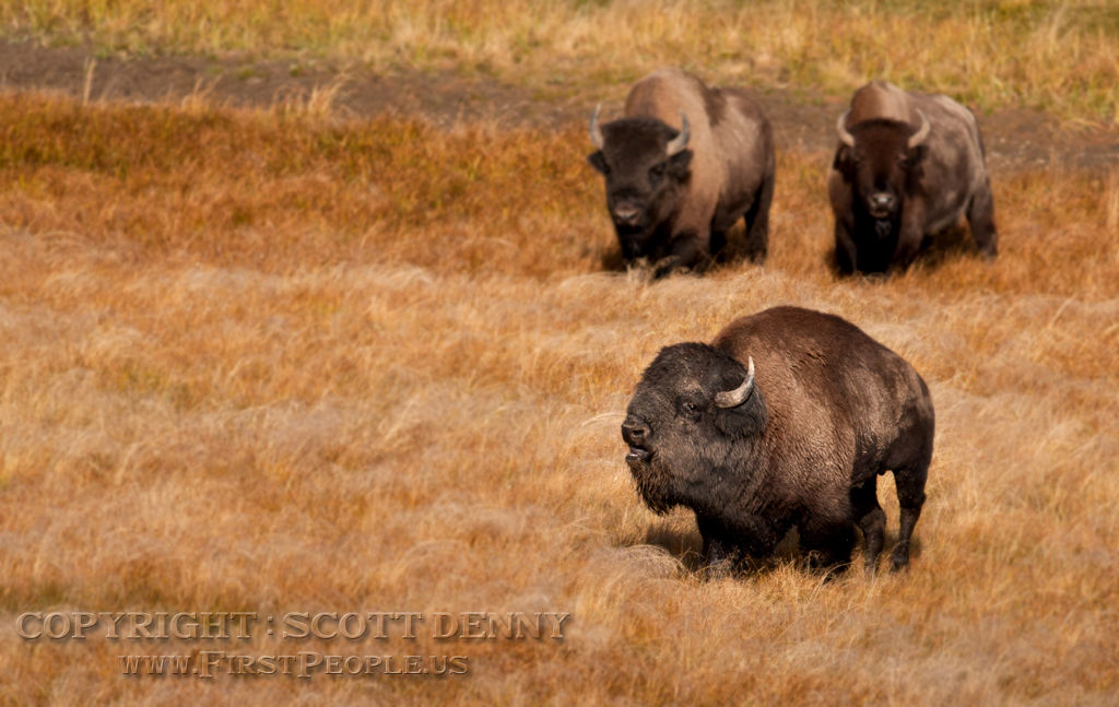 One Bison calling out, with two other Bison walking behind.