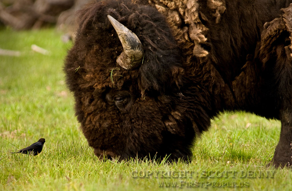 A bird watches curiously as a Bison grazes.