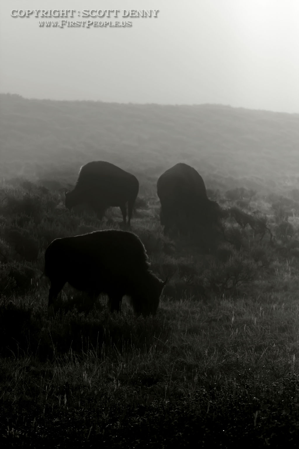 Three Bison grazing on the grass during a misty day.