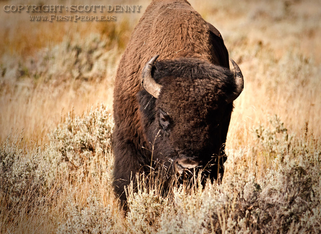 A Bison taking a stroll through the long grass.