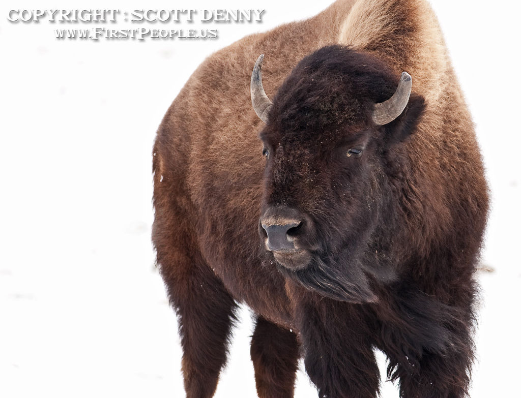 A Bison braving the freezing cold.