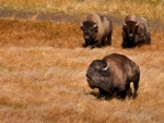 Three bison.