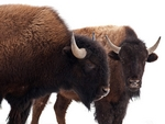 Two bison.