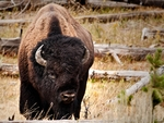 A bison face-on.