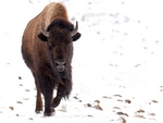 A bison walking through the snow.