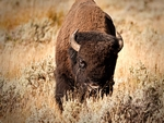 A bison walking through the grass.