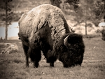 A bison grazing.