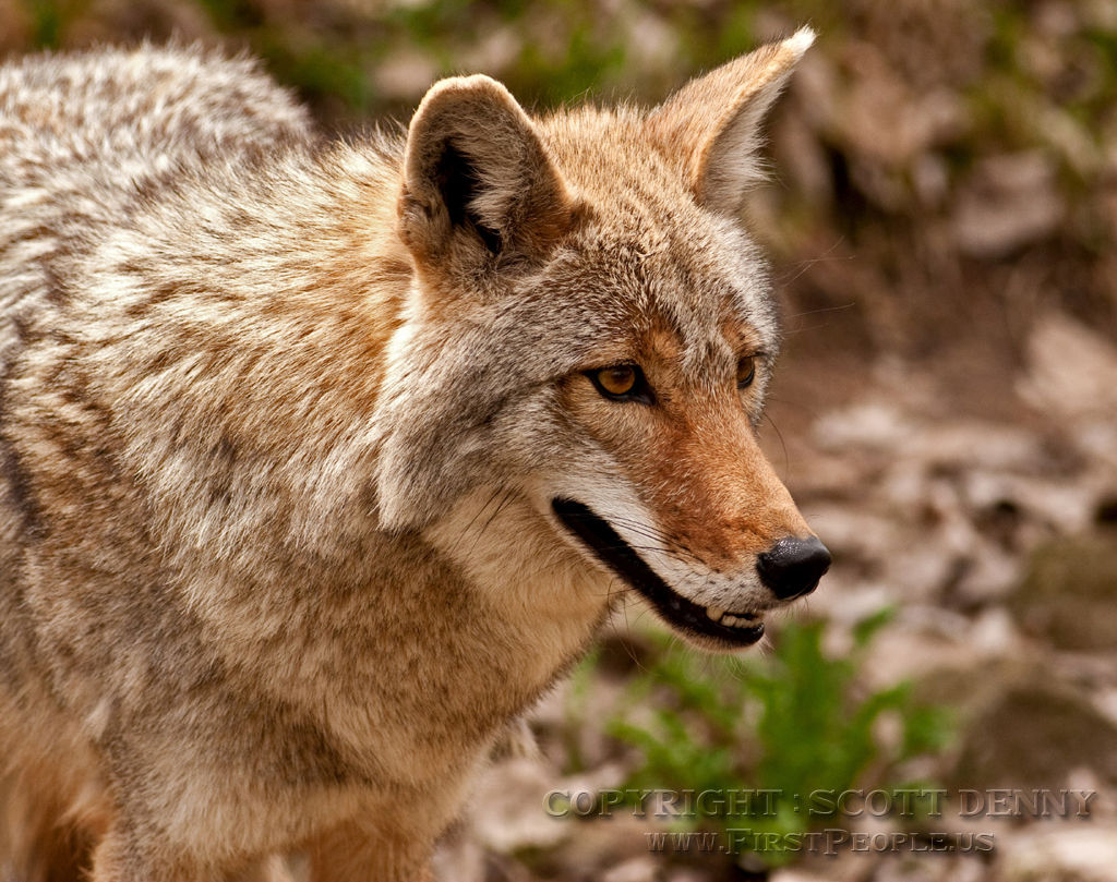 A close-up photograph of a Coyote.