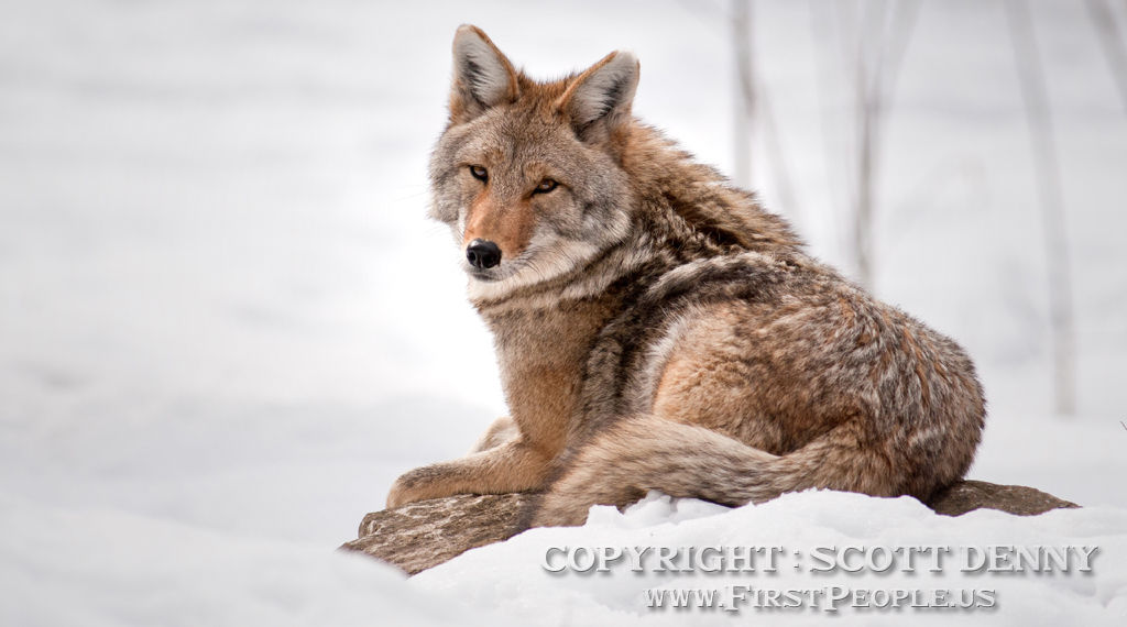 A Coyote resting in the snow.