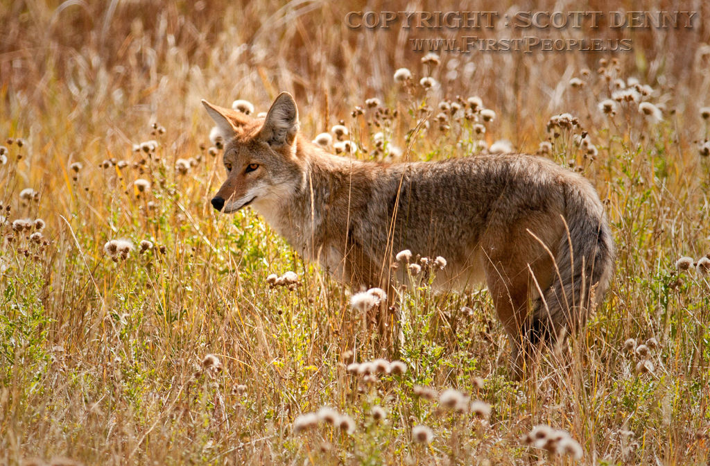 A Coyote standing amongst the grass.