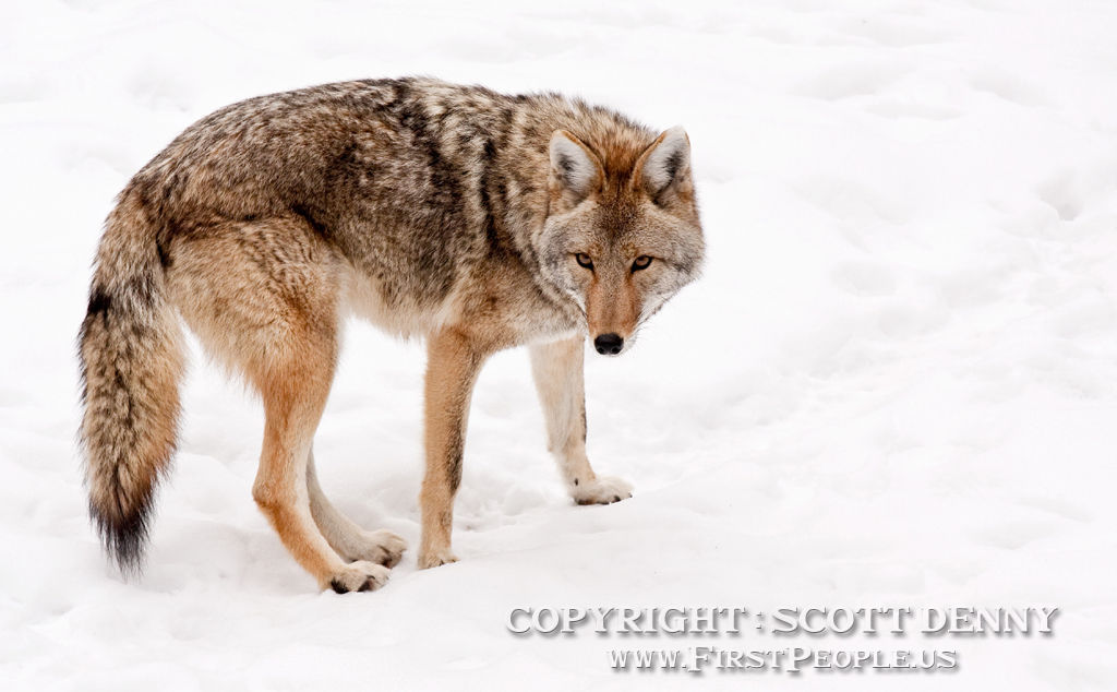 A Coyote about to turn round in the snow.