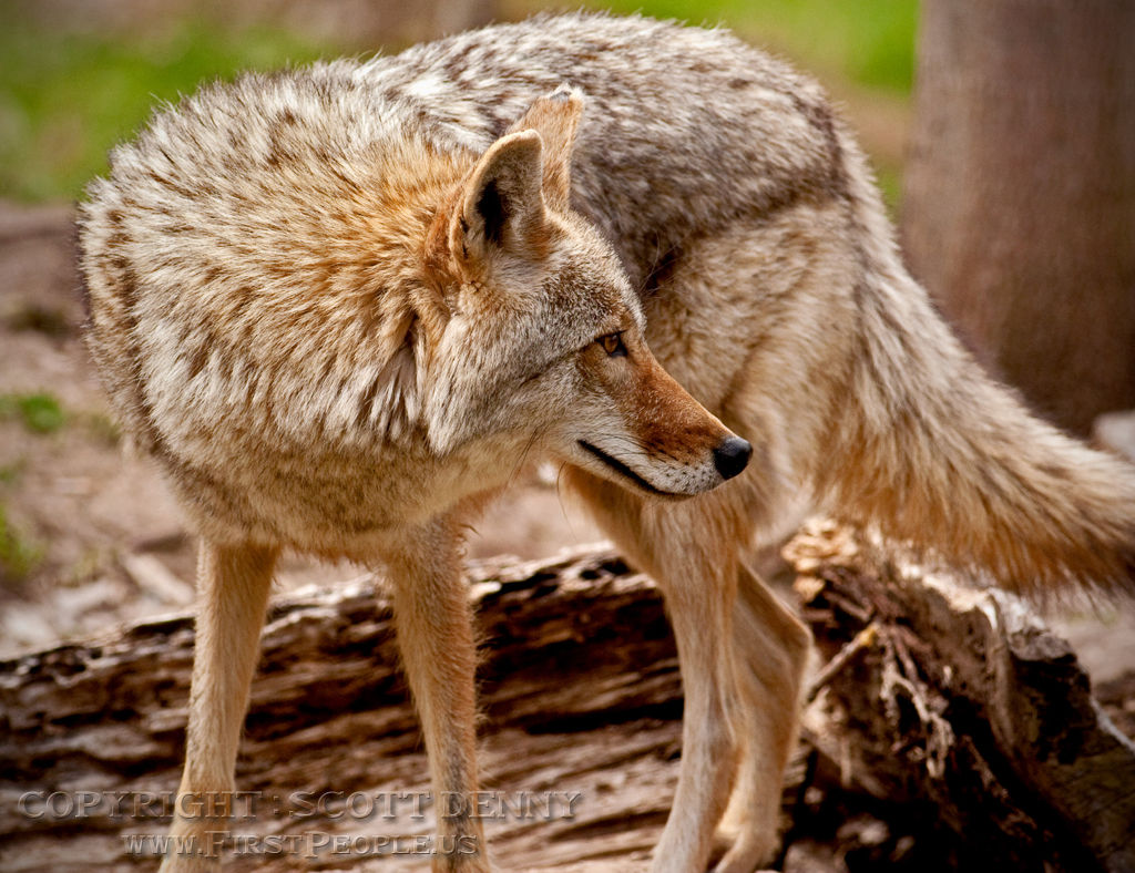 A Coyote looking back.