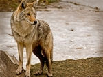 A Coyote standing.