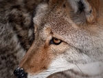A Coyote close-up.