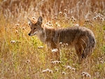 A Coyote in the long grass.