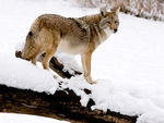 A Coyote on look-out.