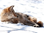 A Coyote having a rest.