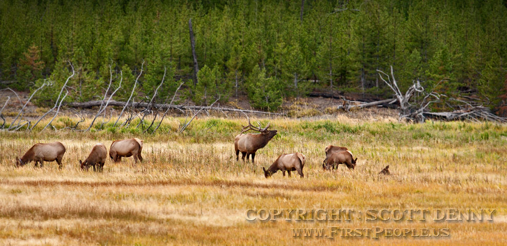 A photograph of a Bull Elk (Cervus Canadensis) calling out to the cows.