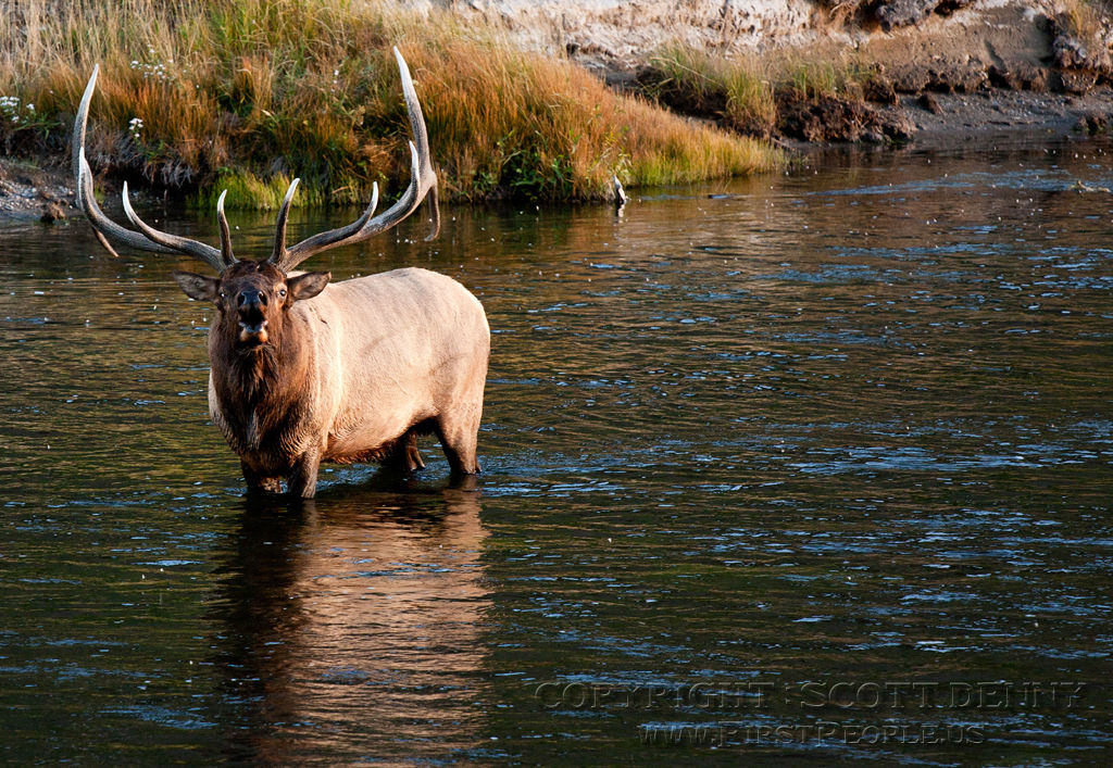 A photograph of a Bull Elk (Cervus Canadensis) knee-deep in water, calling out.