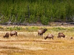A group of Elk.