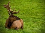 An Elk resting on the grass.