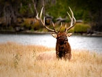 An Elk in long grass.