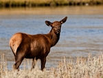 A young Elk near water.
